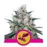 Honey Cream (Fast Flowering)