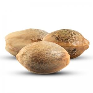 3 Semințe de Canabis Gratuite