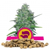 Skunk XL Bulk Seeds