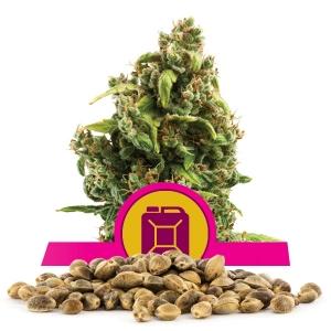 Sour Diesel Bulk Seeds