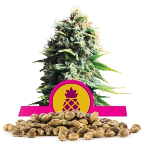 Pineapple Kush Bulk Seeds