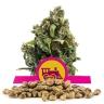 Candy Kush Express (Fast Flowering) Bulk Seeds