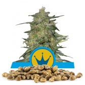 Royal Highness Bulk Seeds