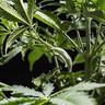 Cleme de plante pentru formare LST