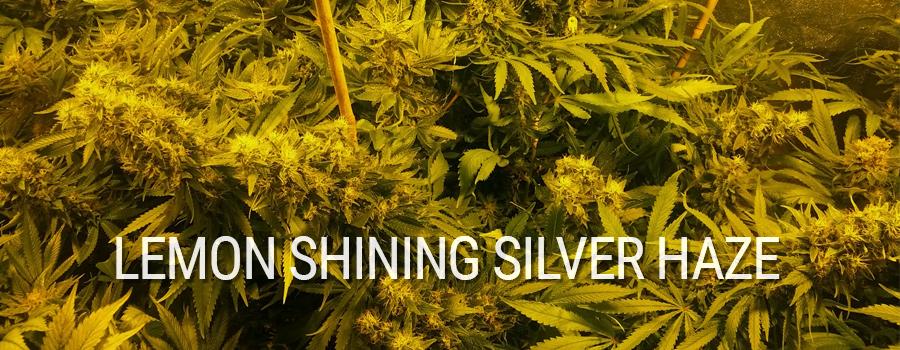 Lemon Shining Silver Haze Royal Queen Seeds