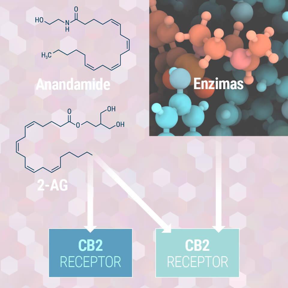 Înțelegerea Sistemului Endocanabinoid