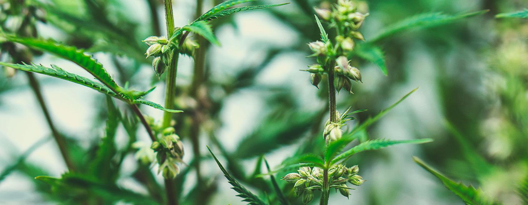 Cum sunt crescute semințele medicinale de marijuana