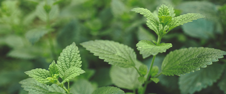 Companion Plants for Cannabis